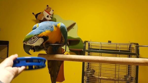 Способ заманить попугая в клетку