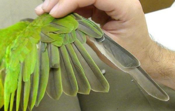 Попугай лишается перьев