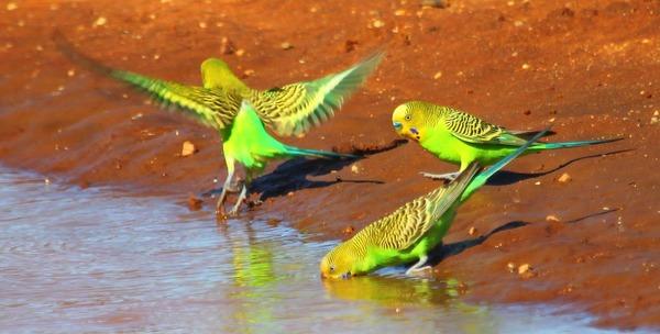 Попугаи в природной среде