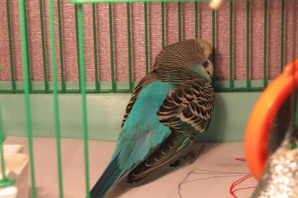 У попугая ухудшилось самочувствие