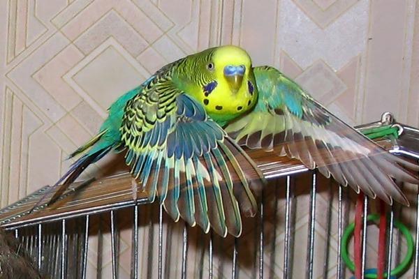 Питомец расправил крылья