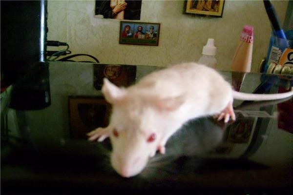 Крысы очень быстро растут