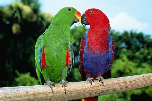 Экзотические птицы эклектус