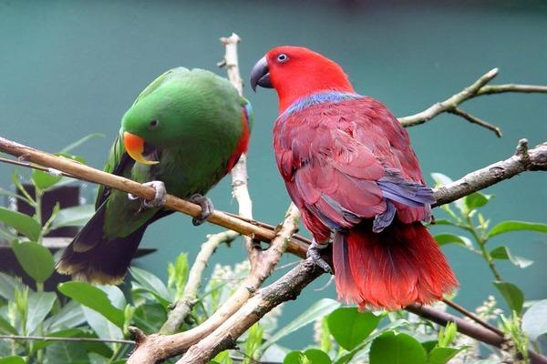Благородные зелено-красные попугаи