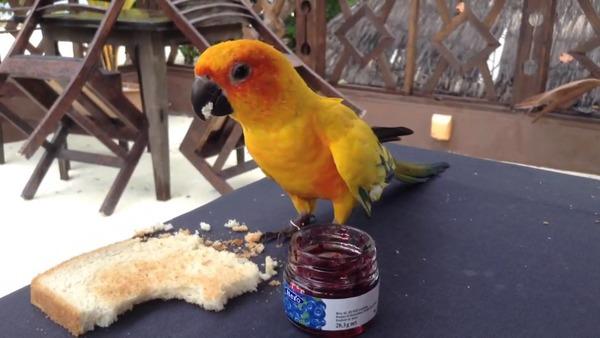 Попугай кушает белый хлеб