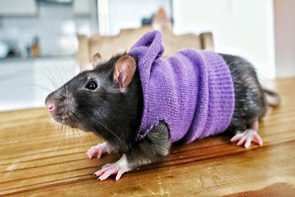 Крыса - идеальный домашний питомец