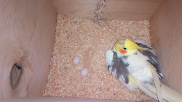 Корелла снесла яйца и сидит на кладке
