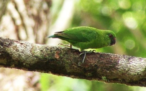 Дятловый попугай