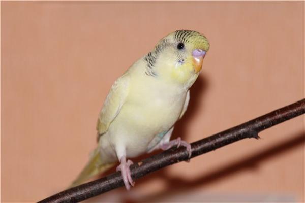 У попугая адаптация к новому дому