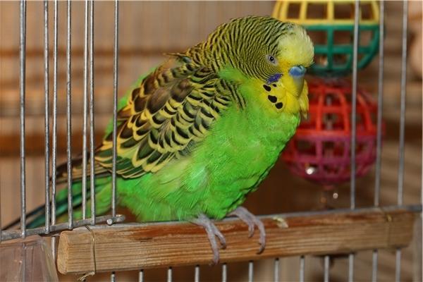 Попугай отказывается от еды и питья
