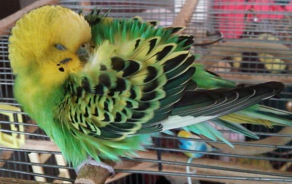 У попугая проблемы со здоровьем