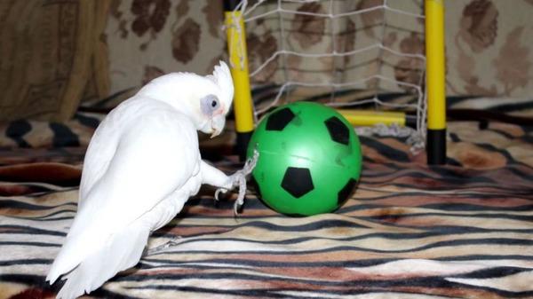 Игры пернатого с мячом