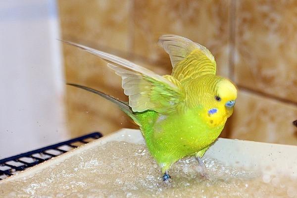 Приучаем попугая купаться