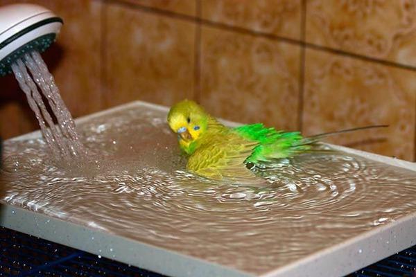 Попугай в восторге от купания