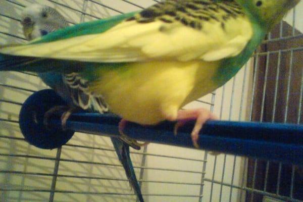 Самка попугая оплодотворенная