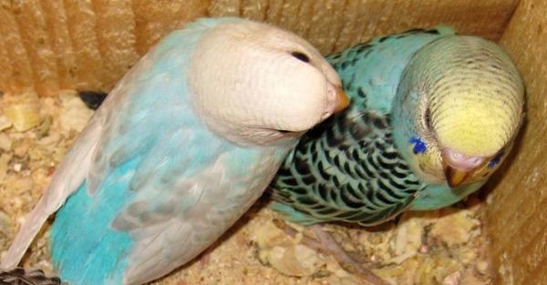 Самка попугая не может снести яйцо