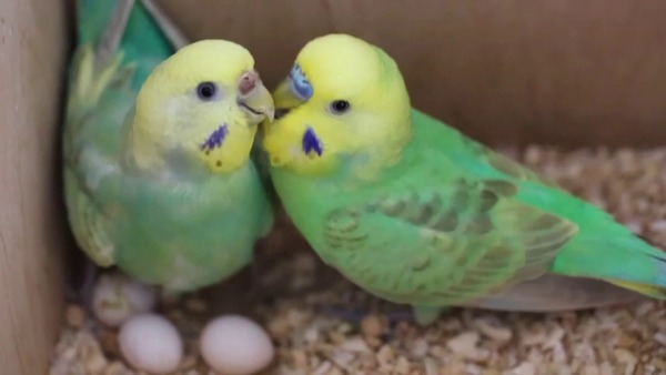 Естественный процесс кладки яиц