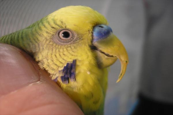 Клюв попугая увеличен в размерах