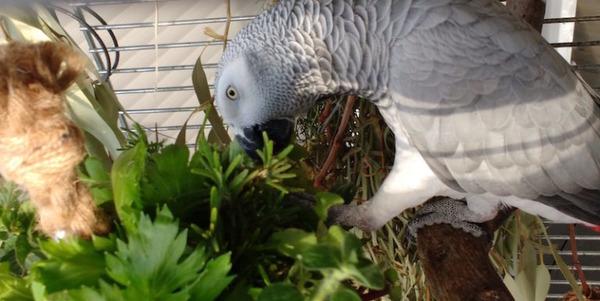 Приучаем попугая к зеленой траве