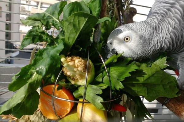 В рационе попугая зеленые веточки