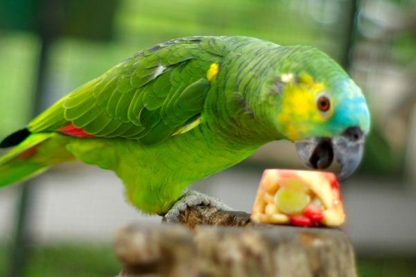 Попугай кушает фруктовый десерт
