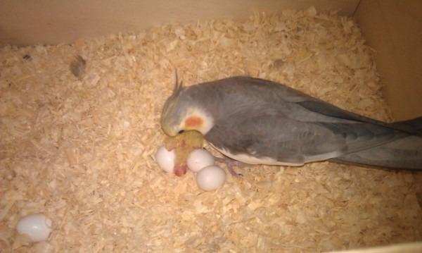 Появился первый птенец