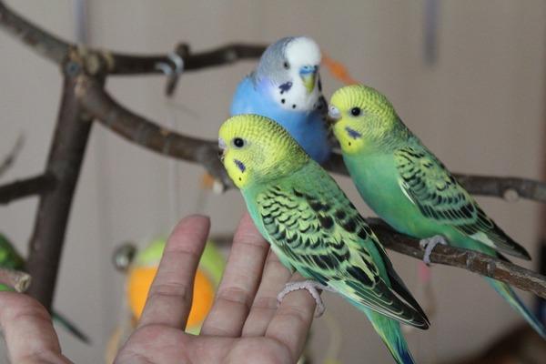 Попугайчики в острой стадии орнитоза