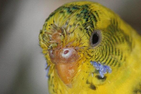 Симптомы болезни попугая