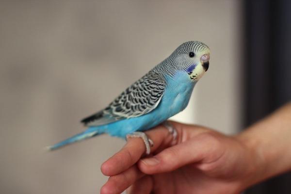 Особенности характера попугаев
