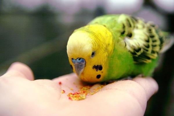 Попугай клюет зерна граната