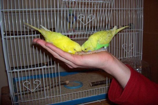 Попугайчики уже привыкли кушать с рук
