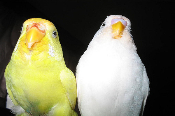 Попугаи-лютино