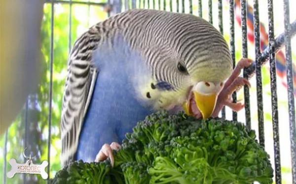 В рационе попугая - зелень