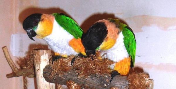 Размножение каиков