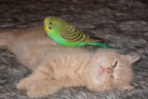 Попугай и кошка подружились