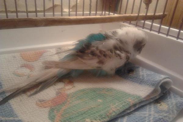 Попугайчик все время лежит на дне клетки
