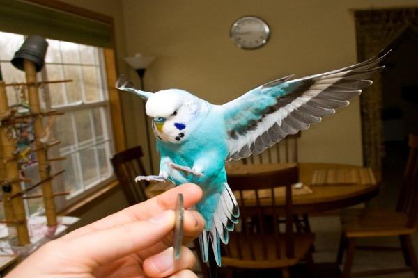 Попугайчик садится на руку хозяина