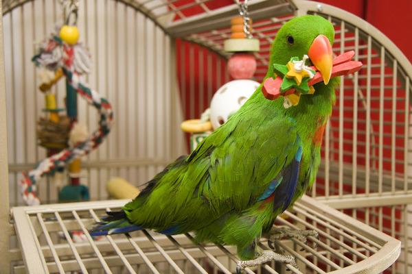Крупный попугай в стенах квартиры