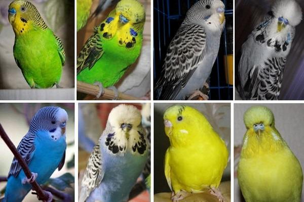 Виды попугаев
