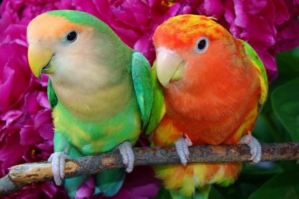 Милейшие попугаи неразлучники