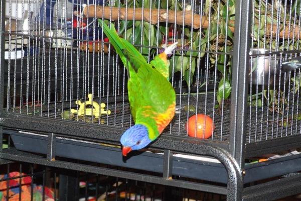 Заманивание попугая в клетку