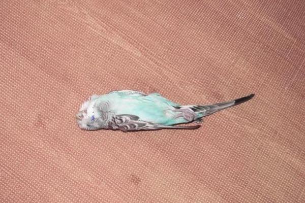 Попугайчик внезапно умер