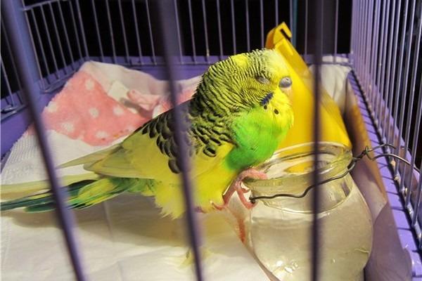 Попугай простудился