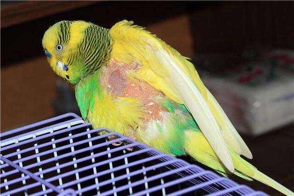 Инфекционные заболевания попугая