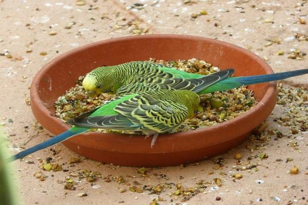 Основа питания - зерновые смеси