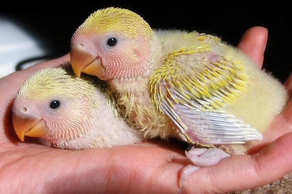 Ухаживание за птенцами