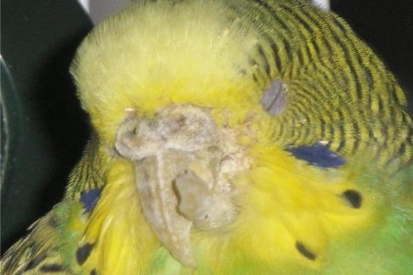 Заболевание клюва волнистого попугая