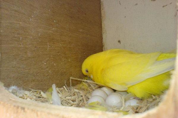 Высиживание птенцов