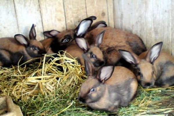 Разведение тюрингенских кроликов