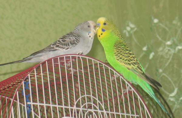 Приобретаем изначально здоровых птичек